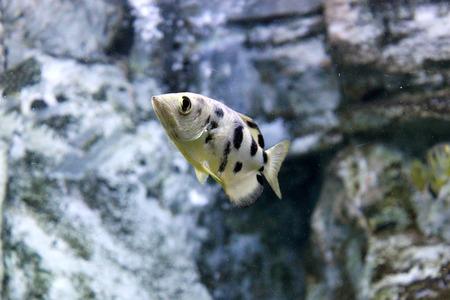 Archer fish or Blowpipe fish (Toxotidae). Wildlife animal. Stock Photo