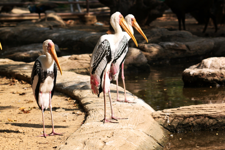 Painted Stork (Mycteria leucocephala) is a large wading bird in the stork family