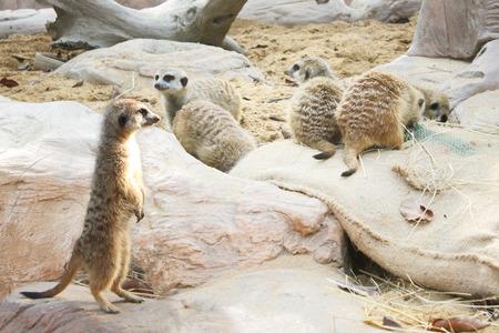 Meerkat Stand guard (Suricata suricatta) with warm sunlight. Stock Photo