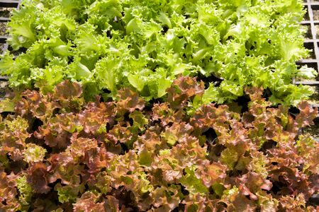 Organic hydroponic lettuce cultivation farm. Red lettuce and green lettuce. Stock Photo