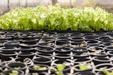 Organic hydroponic lettuce cultivation farm. green lettuce.