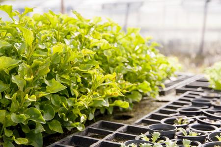 Organic hydroponic Watercress (Nasturtium officinale) cultivation farm. Stock Photo