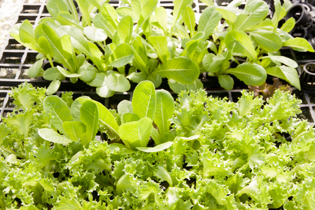 Organic hydroponic green cos romaine lettuce and Watercress (Nasturtium officinale) cultivation farm.