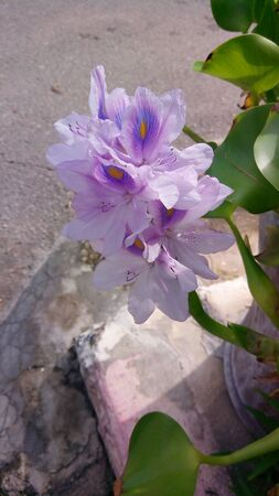 Beautiful Water Hyacinth flowers on the background blurred