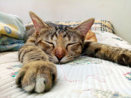 Close portrait of adorable male tabby cat relaxing and sleeping comfortably on the couch.  Stock Photo