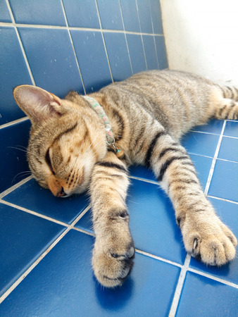 Close up portrait of adorable male tabby cat relaxing and sleeping comfortably on the blue tile