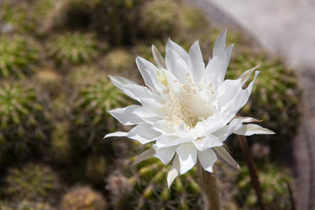 White cactus flower closeup under morning sun light. Nature background Stock Photo