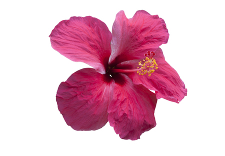 Pink hibiscus flower isolated on white. objects with clipping paths. Stock Photo