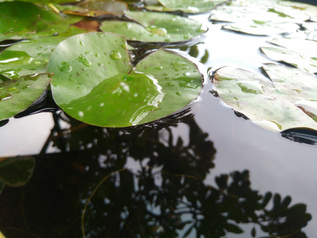 Lotus leaf float on water in tranquil garden with reflection Drops of water on green lotus leaf green.