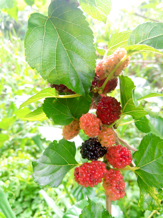 Mulberry fruit and green leaves on the tree. Mulberry this a fruit and can be eaten in have a red and purple color. Stock fotó