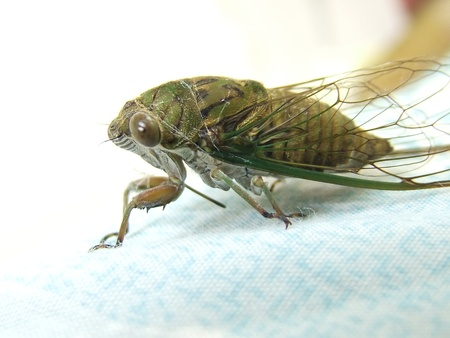 bug cricket: Closeup Cicada on the bed, side view Stock Photo