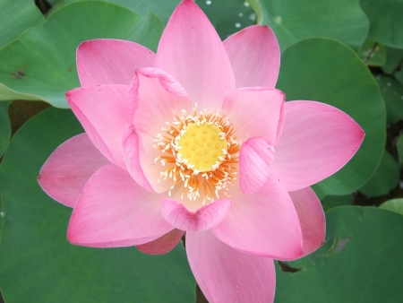Pink blossom lotus flower in Thailand photo