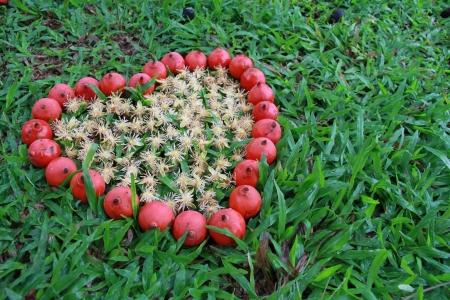 betelnut: heart from betel nut  Areca  side view