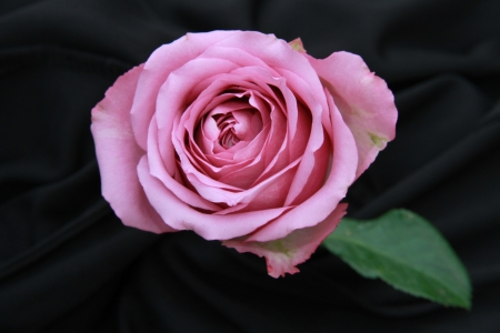 the violet rose flower on black screen stock photo picture and