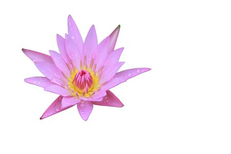 nelumbo: Pink Lotus flower top side view has some drop water on the petal, Isolated on white background, symbol of purity and Buddhism, Scientific name is Nelumbo nucifera.