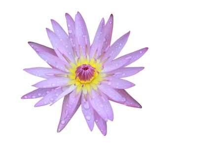 nelumbo nucifera: Purple Lotus flower top view has some drop water on the petal, Isolated on white background, symbol of purity and Buddhism, Scientific name is Nelumbo nucifera. Stock Photo