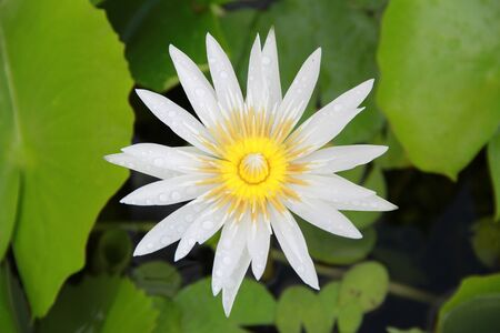 nucifera: Bright white Lotus flower top view in the pool has some drop water on the petal, symbol of purity and Buddhism, Scientific name is Nelumbo nucifera.