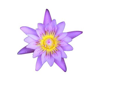 nelumbo nucifera: Violet Lotus flower top view has some drop water on the petal, Isolated on white background, symbol of purity and Buddhism, Scientific name is Nelumbo nucifera.