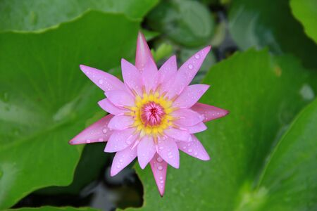 nucifera: Pink Lotus flower top view in the pool has some drop water on the petal, symbol of purity and Buddhism, Scientific name is Nelumbo nucifera. Stock Photo