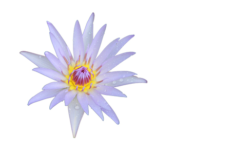 nelumbo nucifera: Light violet Lotus flower top view has some drop water on the petal, Isolated on white background, symbol of purity and Buddhism, Scientific name is Nelumbo nucifera. Stock Photo