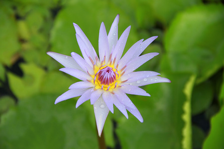 nelumbo: Light violet Lotus flower top view in the pool has some drop water on the petal, symbol of purity and Buddhism, Scientific name is Nelumbo nucifera.