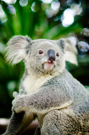 Koala on a tree with bush green background Standard-Bild