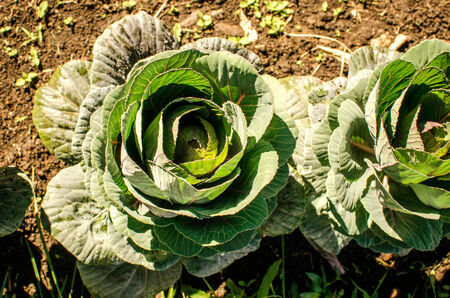 Green cabbage\\\\\\\\ photo