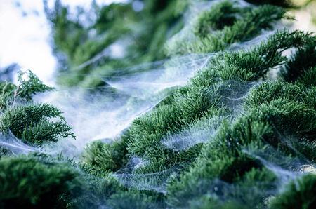 Cobweb On The Pine