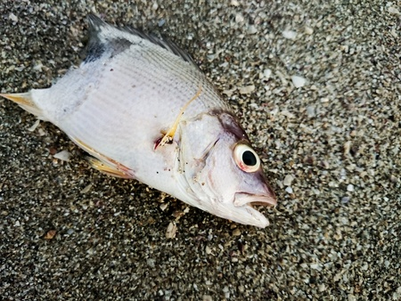 dead animal: Dead fish on the beach. Water pollution concept