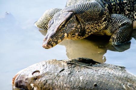 lagarto: Lagarto monitor de agua en el lago varanus, animal, lagarto