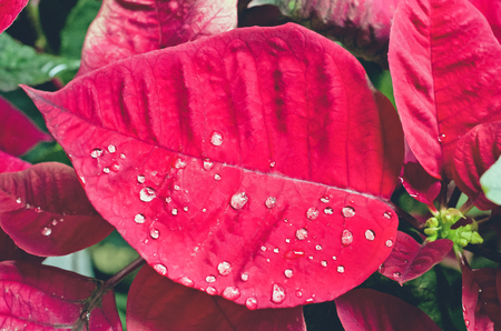 love life: Abstract of rain drops on poinsettia flower