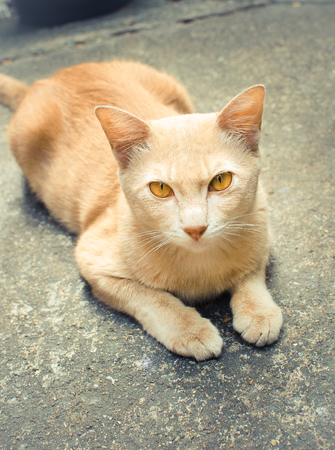 fitter: Thai cat Looking At Camera, Vintage color fitter