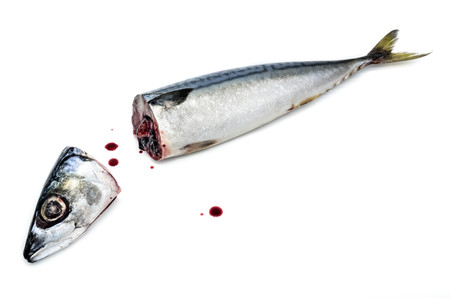 scardinius: Fresh saba fish head and body with Dripping blood on a white background Stock Photo