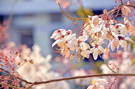 wishing: Pink flower of Wishing tree, cassia bakeriana craib Stock Photo