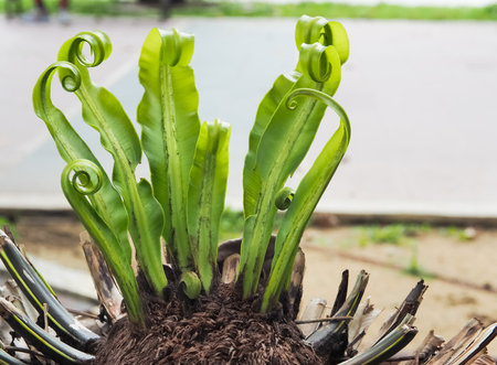 young leave: young birds nest fern leave in the park Stock Photo