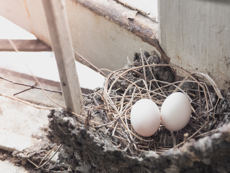 huevos de codorniz: Birds eggs in the straw nest, Built on the roof. Selective focus with place your text Foto de archivo