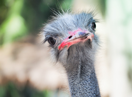 Inquisitive ostrich bird in the park, Selective focus and close up image Stock Photo