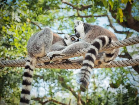 monkies: Two Ring-Tailed Lemur (Lemur catta) Outdoor Shot in the zoo Stock Photo