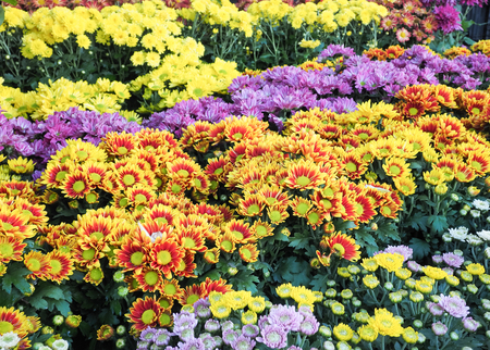 daises: Colorful yellow daises flowers in the park, Selective focus Stock Photo