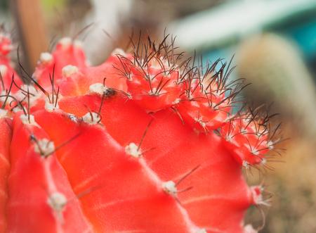 Red gymnocalycium mihanovichii, Succulent cactus closeup, Selective focus with place your text Stock Photo
