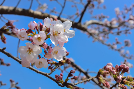 Beautiful Sakura Flowers in Japan, Selective Focus with place your text Stock Photo