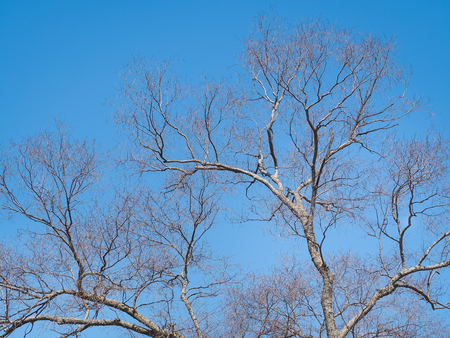 Leafless branches of sakura tree against blue sky. Osaka, Japan Stock Photo