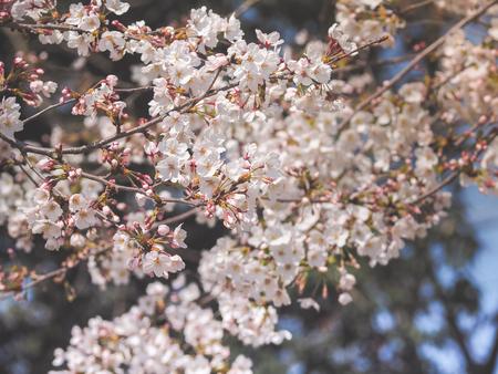 Beautiful White Sakura Flowers in Japan, Selective Focus