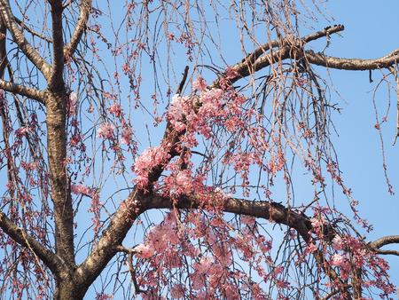 Branch of sakura started blooming at the beginning of the season.