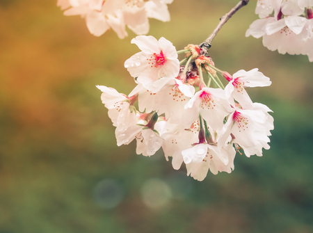 Beautiful Pink Sakura Flowers in Japan, Selective Focus with Place your text Stock Photo