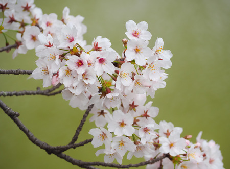 Beautiful Sakura Flowers in Japan, Selective Focus with Place your text