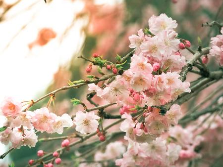 Sakura started blooming at the beginning of the season Selective focus