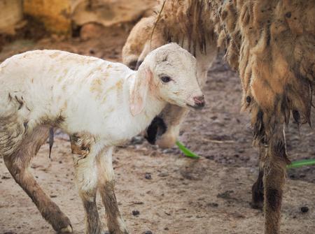 ovejitas: Pequeña oveja nacida solo un día en la granja. Foto de archivo