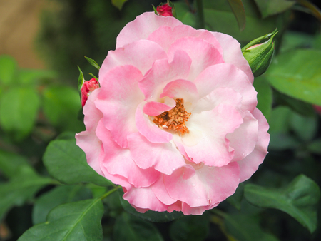 bee on flower: Beautiful pink rose, Selective focus and close up