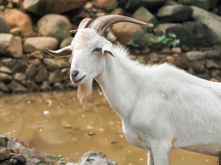 Billy goat grazing on farm in Thailand.